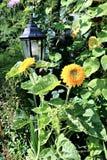 Blommor av dekorativa solrosor Fotografering för Bildbyråer