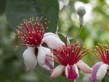 Blommor av den Acca sellowianaen Royaltyfri Fotografi