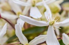 Blommor av den Armandii klematins Arkivfoton