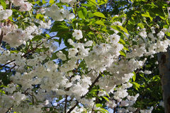 Blommor av den dekorativa körsbäret Royaltyfria Bilder