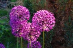 Blommor av den dekorativa lökAlliumchristophiien Royaltyfri Bild