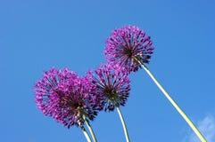 Blommor av den dekorativa löken i solig dag Royaltyfri Fotografi