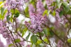 Blommor av den gemensamma lila syringaen som ?r vulgaris i v?rtr?dg?rd royaltyfri foto