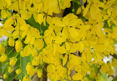 Blommor av den guld- duschen Royaltyfria Foton