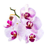 Blommor av den härliga rosa orkidén som isoleras Royaltyfri Bild