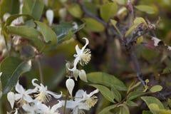 Blommor av den handelsresandeJoy Clematis brachiataen Fotografering för Bildbyråer