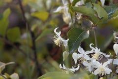 Blommor av den handelsresandeJoy Clematis brachiataen Royaltyfri Foto