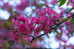 Blommor av den japanska körsbärblomningen på våren Royaltyfri Bild