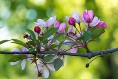 Blommor av den japanska körsbärblomningen på våren Arkivbild