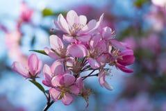 Blommor av den japanska körsbärblomningen på våren Arkivfoto