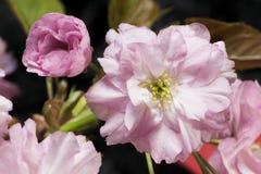Blommor av den japanska körsbäret Royaltyfri Bild