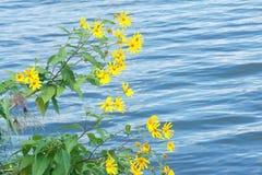 Blommor av den jerusalem kronärtskockan Arkivfoton