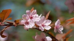 Blommor av den körsbärsröda plommonet stock video
