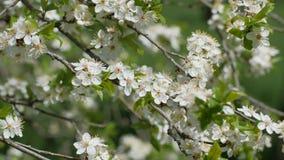 Blommor av den lösa körsbäret lager videofilmer