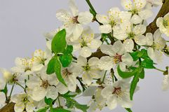 Blommor av den lösa plommonet Royaltyfri Fotografi