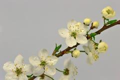 Blommor av den lösa plommonet Fotografering för Bildbyråer