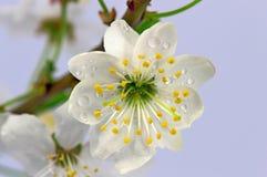 Blommor av den lösa plommonet Royaltyfria Foton