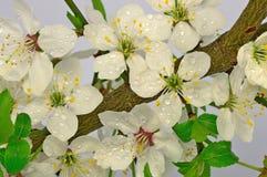 Blommor av den lösa plommonet Royaltyfri Bild