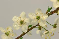Blommor av den lösa plommonet Royaltyfri Foto