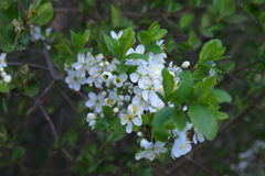 Blommor av den lösa plommonet Arkivfoto