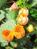 Blommor av den Prickly pearen planterar (kaktusen) eller paddlar efter regnar Arkivfoto