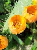 Blommor av den Prickly pearen planterar (kaktusen) eller paddlar efter regnar Arkivfoton