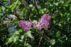 Blommor av den purpurfärgade lilan mot bakgrunden av grön lövverk V?r royaltyfri foto