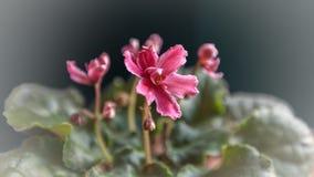 Blommor av den purpurfärgade violeten i en kruka Royaltyfri Foto