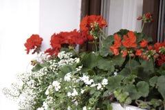 Blommor av den röda pelargon och små vita blommor royaltyfri fotografi