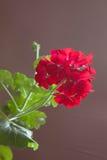 Blommor av den röda pelargon på en brun bakgrund Royaltyfri Fotografi