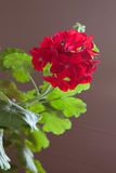 Blommor av den röda pelargon på en brun bakgrund Royaltyfri Bild