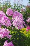 Blommor av den rosa floxcloseupen Fotografering för Bildbyråer