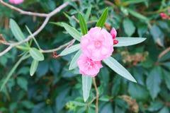 Blommor av den rosa oleander Royaltyfria Foton
