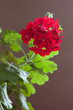 Blommor av den rosa pelargon på en brun bakgrund Royaltyfri Bild