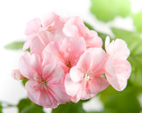 Blommor av den rosa pelargoncloseupen Royaltyfri Fotografi