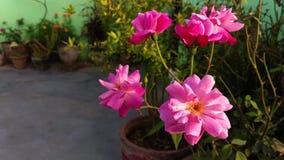 Blommor av den rosa rosen i sommarträdgården Grupp av den indiska rosen i blåsig trädgårdcloseup arkivfilmer