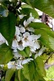 Blommor av den söta körsbäret arkivfoto