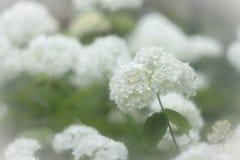 Blommor av den släta vanliga hortensian fotografering för bildbyråer