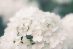 Blommor av den släta vanliga hortensian arkivbilder