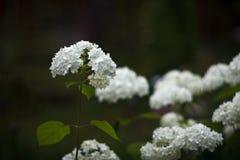 Blommor av den släta vanliga hortensian royaltyfri bild