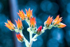 Blommor av den suckulenta växten för echeveria arkivbild