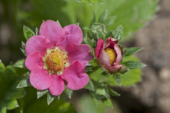 Blommor av den trädgårds- jordgubben Arkivbilder