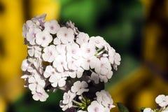 Blommor av den vita floxen Vit blomma med ett svagt ljus - rosa färger synar arkivbild