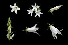 Blommor av den vita lampglasblåklockan royaltyfria bilder