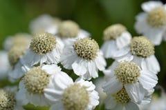 Blommor av den Wild Bertramen. Arkivbilder