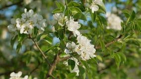 Blommor av det lösa päronet lager videofilmer