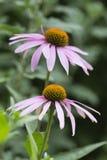 Blommor av Echinaceapurpureaen i trädgården på gr Arkivfoto