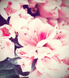 Blommor av en azalea Arkivfoto