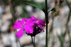 Blommor av en carthesian rosa färg arkivfoto