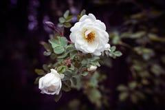 Blommor av en dogrose Royaltyfri Foto